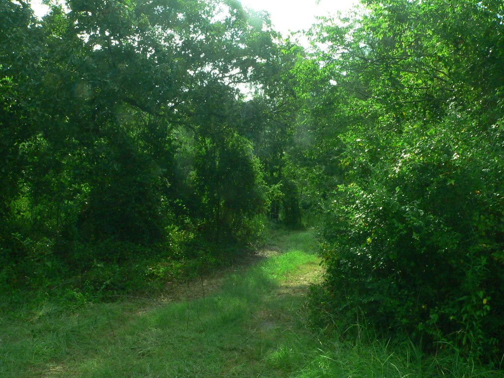 A road between a clump of trees and a large shrub.